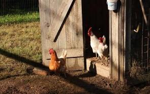 galline della fattoria